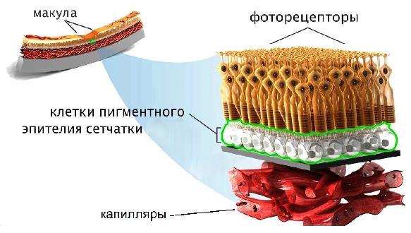 Капли на меду при близорукости